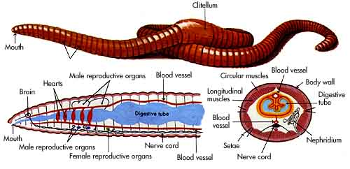 Earthworm Lumbricus Terrestris Gt Comparative Anatomy